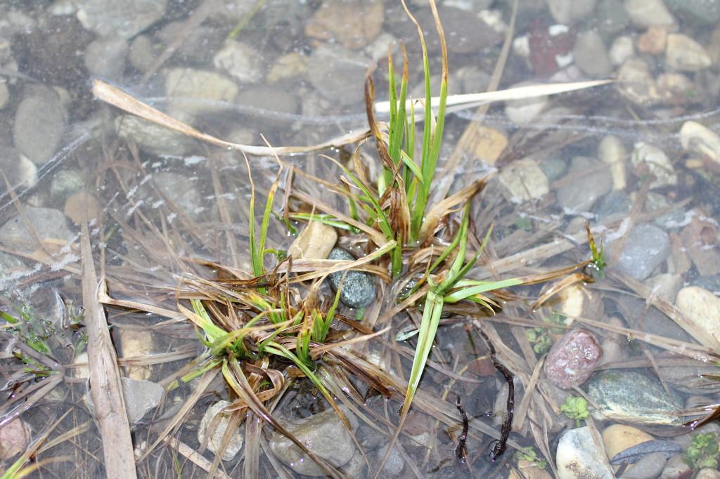 Herrenberg Pflanze im Wasser